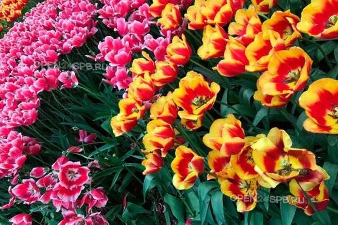 Фестиваль тюльпанов в Санкт-Петербурге